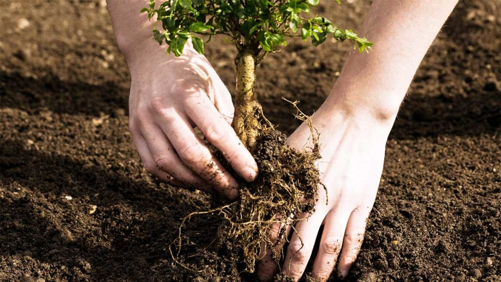 Tree Planting-Wesley Chapel FL Tree Trimming and Stump Grinding Services-We Offer Tree Trimming Services, Tree Removal, Tree Pruning, Tree Cutting, Residential and Commercial Tree Trimming Services, Storm Damage, Emergency Tree Removal, Land Clearing, Tree Companies, Tree Care Service, Stump Grinding, and we're the Best Tree Trimming Company Near You Guaranteed!